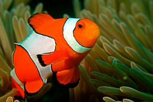 Clown_fish_in_the_Andaman_Coral_Reef