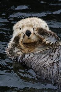 Here_I_am.. sea otter