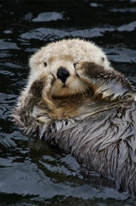 Here_I_am.. sea otter