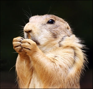 Prairie_Dog_closeup