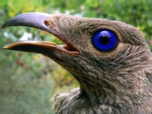 Satin_bowerbird