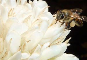 flowers-caffeinate-pollinators-bee-coffee_64953_600x450