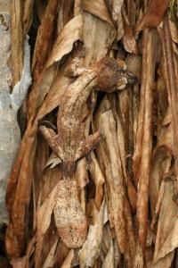 Giant leaf-tail gecko / reuzenbladstaartgekko (Uroplatus fimbriatus)