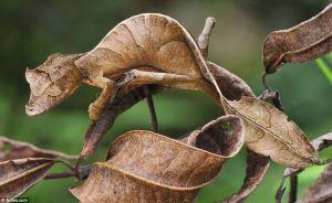 leaf tailed gecko camo