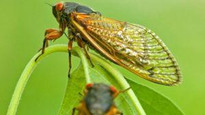 cicadas color